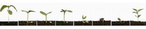 Sunflower germination